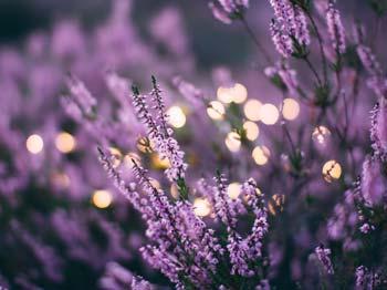 Heilrezepte mit Lavendel aus dem Heilpflanzenlexikon von Dr. med. dent. Nicole Wagner