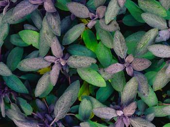 Heilrezepte mit Salbei aus dem Heilpflanzenlexikon von Dr. med. dent. Nicole Wagner