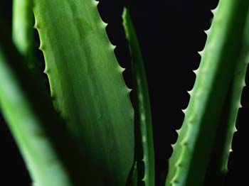 Heilrezepte mit Aloe Vera aus dem Heilpflanzenlexikon von Dr. med. dent. Nicole Wagner